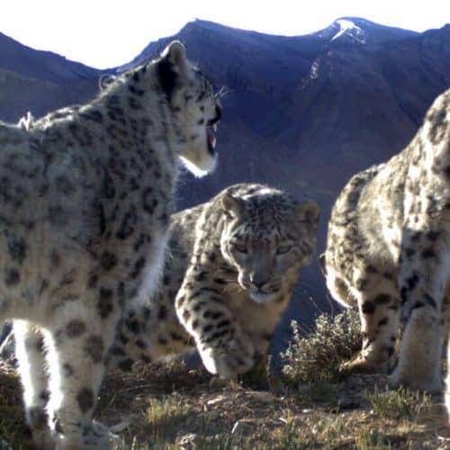 Snow Leopard is a Social Animal